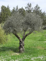 Integrated protection of olive crops