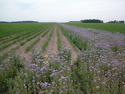 Field margin management can promote beneficial insects - arable cropping systems