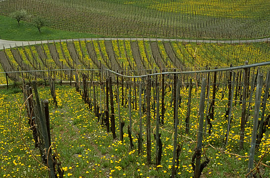 Green cover management in vineyards: Permanent supply of flowering plants as food sources for the vineyard fauna